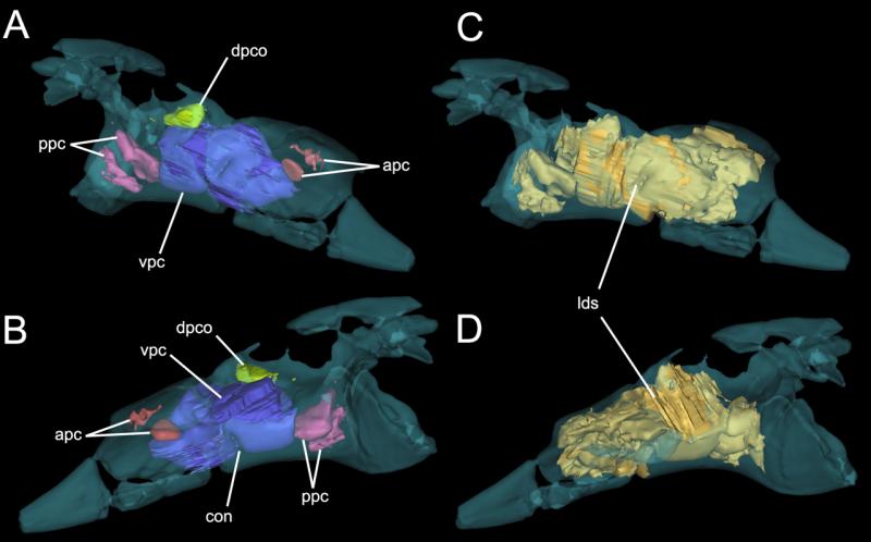 Paleontologists solve pterosaur pelvis puzzle