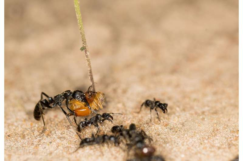Ants rescue their injured