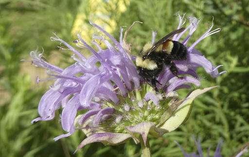 APNewsBreak: Rusty patched bumblebee declared endangered