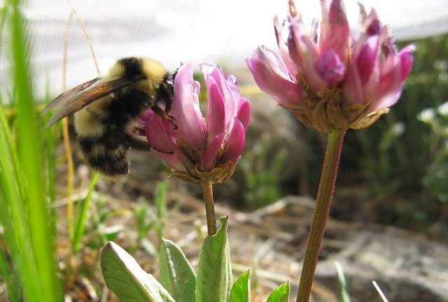 Bee buzzes could help determine how to save their decreasing population
