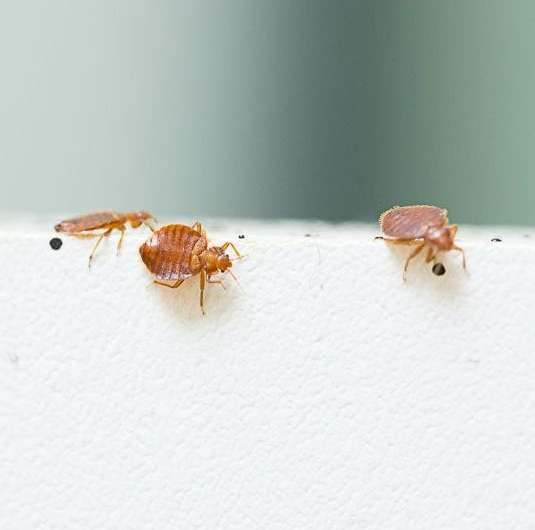 Biopesticide could defeat insecticide resistance in bedbugs