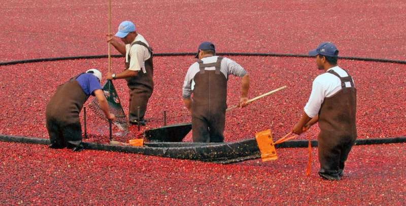 Can cranberries conquer the world? A US industry depends on it