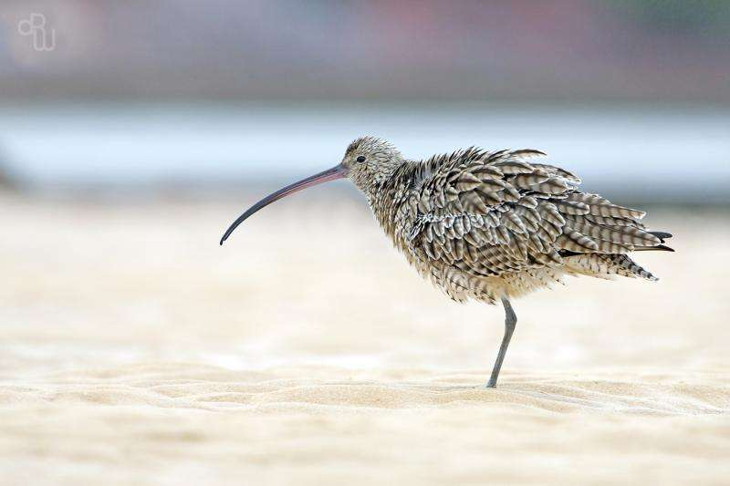 Citizen scientists help identify shorebird extinction threat