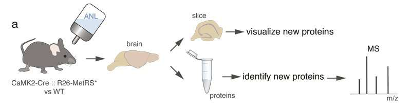 Detecting new proteins in active brains of mice