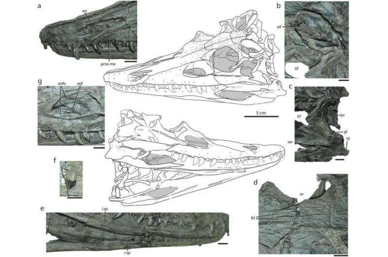 Diandongosuchus—the strange-faced transitional phytosaur