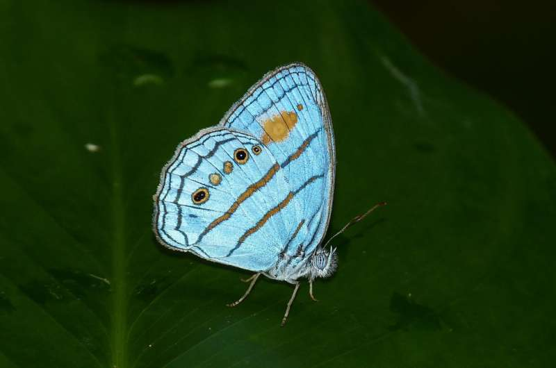 DNA links male, female butterfly thought to be distinct species