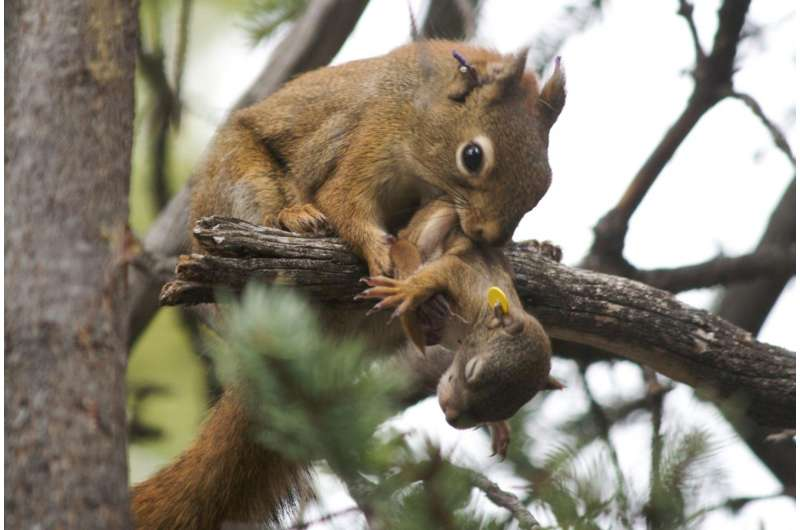 Early squirrel gets the real estate, U of G study finds