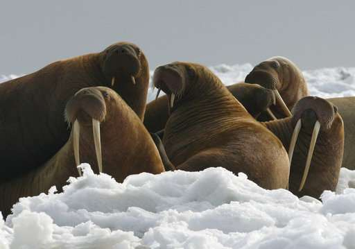 Federal government: No threatened species listing for walrus