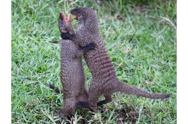 Female mongooses help their pups by driving out rivals