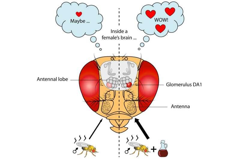 Food odor enhances male flies' attractiveness