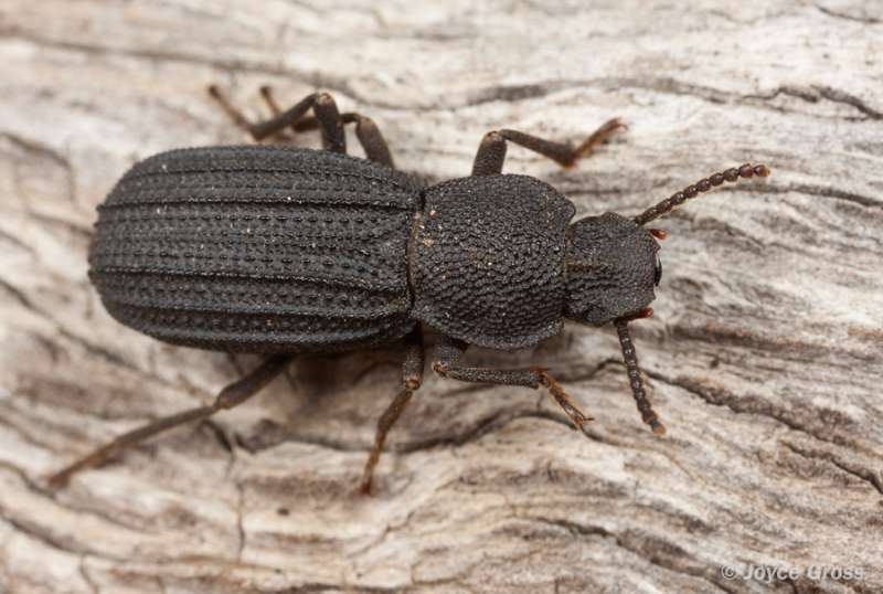 Fossil beetles suggest that LA climate has been relatively stable for 50,000 years