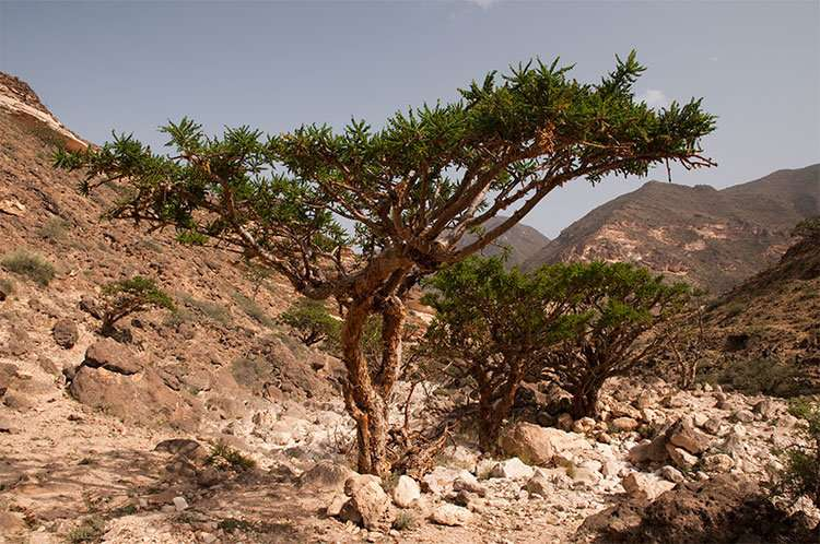 Frankincense tested as possible breast, colon cancer treatment