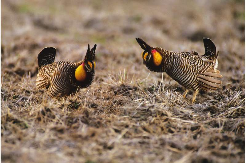 Greater prairie chickens cannot persist in Illinois without help, researchers report