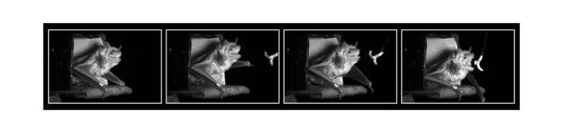 How bat brain tracks prey
