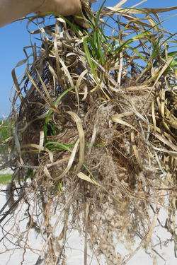 Invasive sedge protects dunes better than native grass, Penn-led study finds