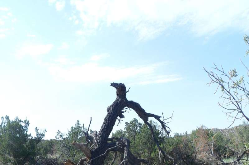 It takes a microclimate to raise a pinyon tree