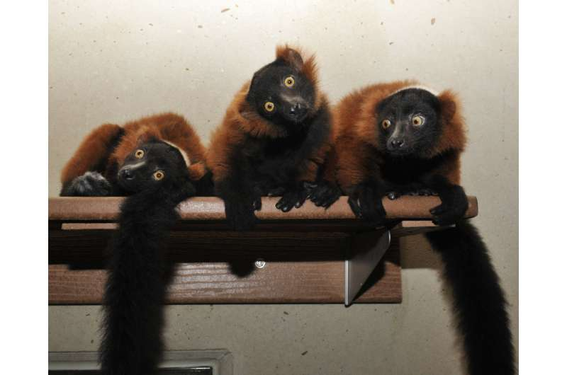 Lemur study highlights role of diet in shaping gut microbiome