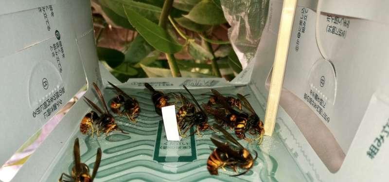 Luring hornets: Scientists unlock sex pheromone of notorious honey bee predator
