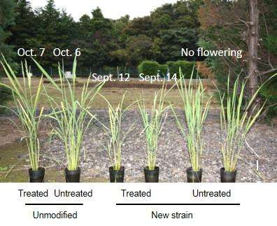 New rice strain could help farmers predetermine harvest time