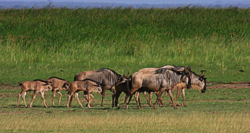 New study describes in detail A threatened long-distance wildebeest migration route