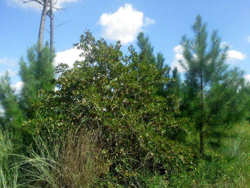 Oaks may replace pines in severely burned 'Lost Pines' region without human intervention