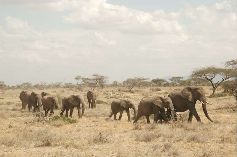 Orphaned elephants' social lives substantially altered by poaching