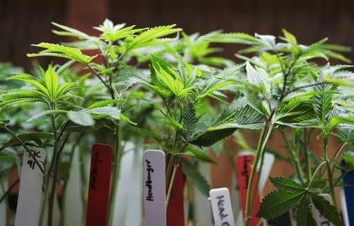 Poll: Marijuana safer than opioids, but moms shouldn't use