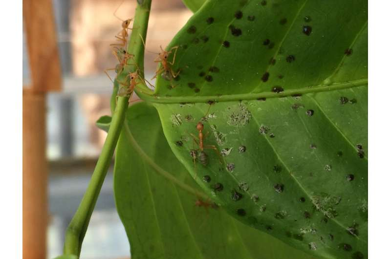 Profitable cooperation: Ants protect and fertilize plants