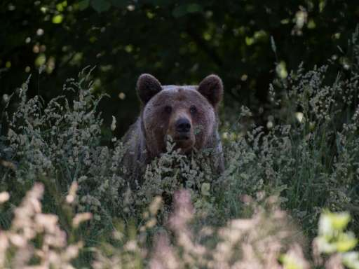 Romania is home to around 6,000 brown bears, 60 percent of the European population