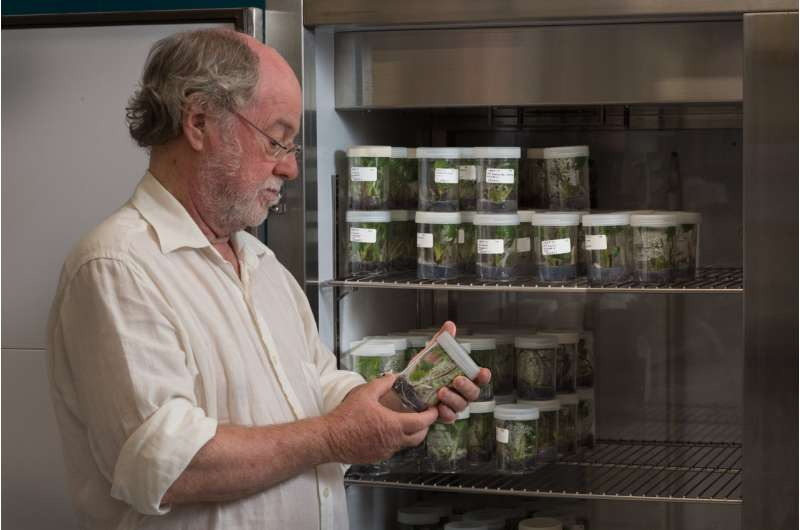 Saving Cavendish: QUT grows world-first Panama disease-resistant bananas