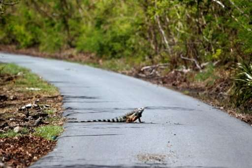 Scientists fear that a lack of trees and foliage after Hurricane Maria hit Puerto Rico could make it easier for iguanas, which a