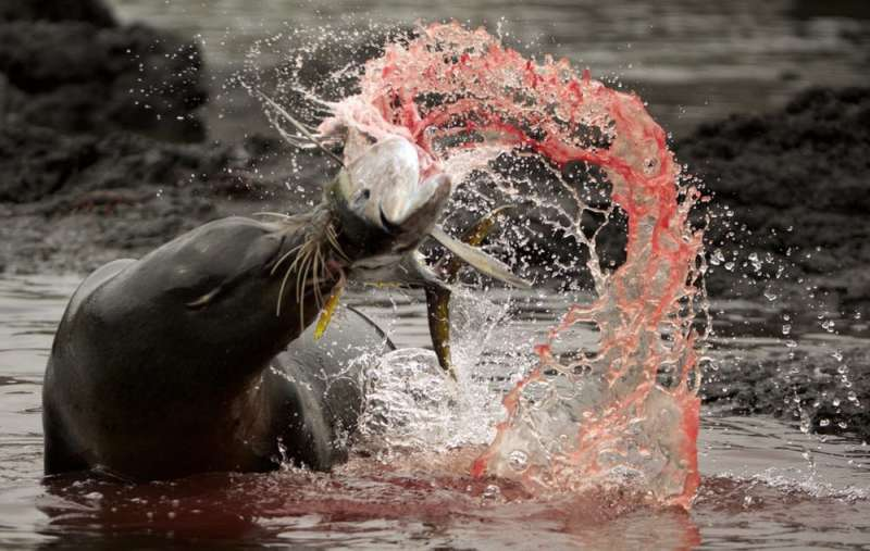 Sea lions have unique whiskers that help them catch even the fastest fish