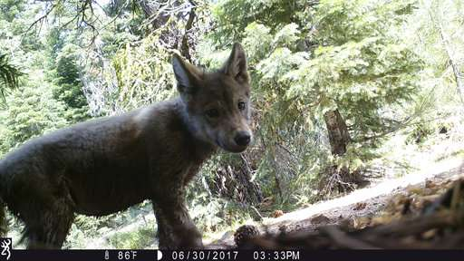 Second pack of gray wolves spotted in Northern California