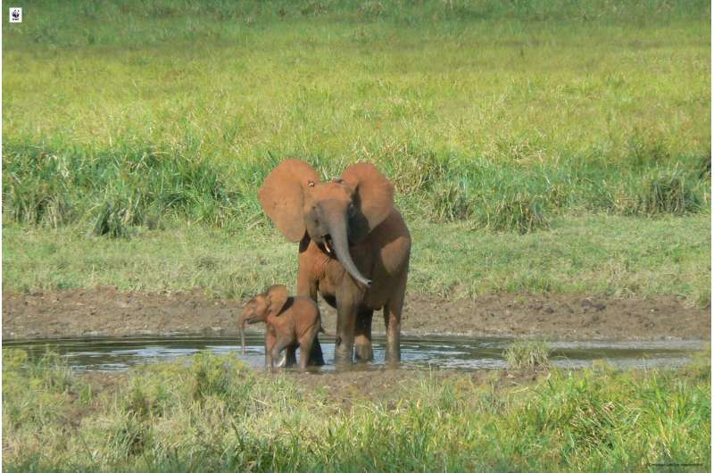 Several forest elephant populations close to collapse in Central Africa