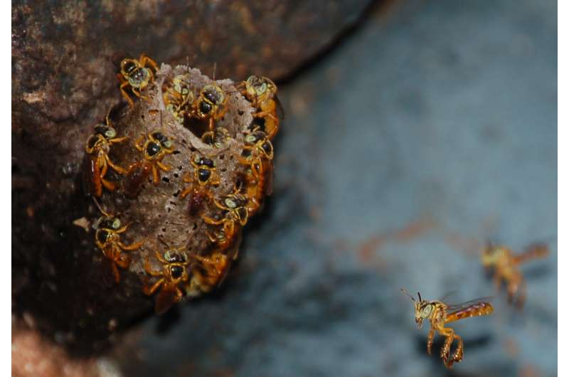 Stingless bees have their nests protected by soldiers