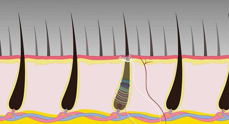 Study uncovers specialized mouse neurons that play a unique role in pain