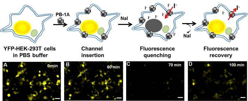 Synthetic nanochannels for iodide transport