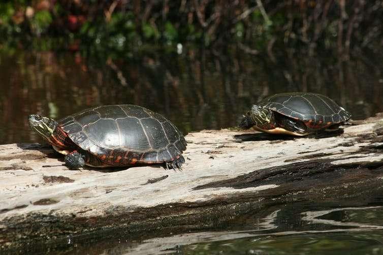The secret to turtle hibernation is butt-breathing