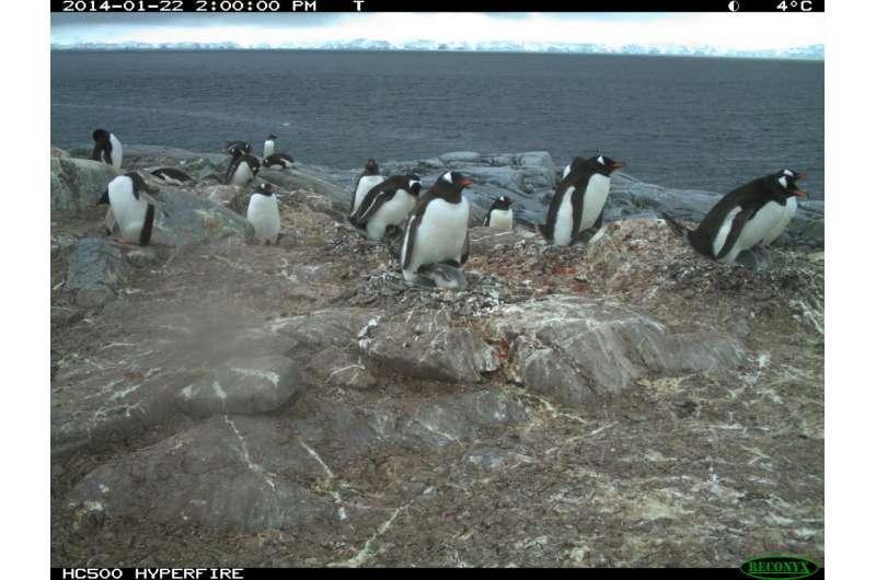 Time-lapse cameras provide a unique peek at penguins' winter behavior