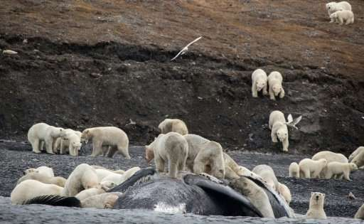 Tourists in the far eastern Russian Arctic spotted some 200 polar bears in September roaming on a mountain slope where they had