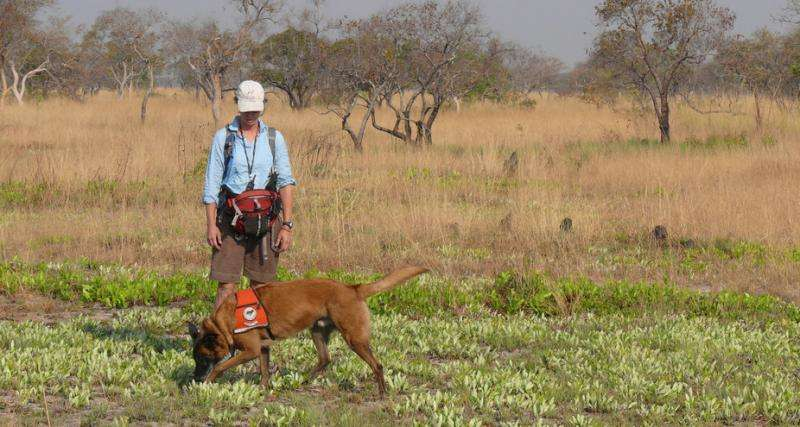 Using dogs to find cats—overcoming the challenges of tracking cheetahs