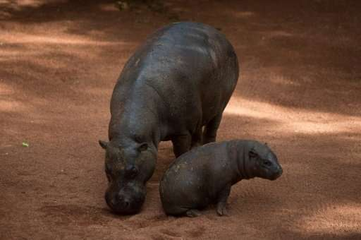 Veterinarians are working to determine the cause of dozens of hippo deaths in Namibia