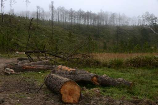 View of woods destroyed by a bark beetle infestation in Siguatepeque on January 28, 2017