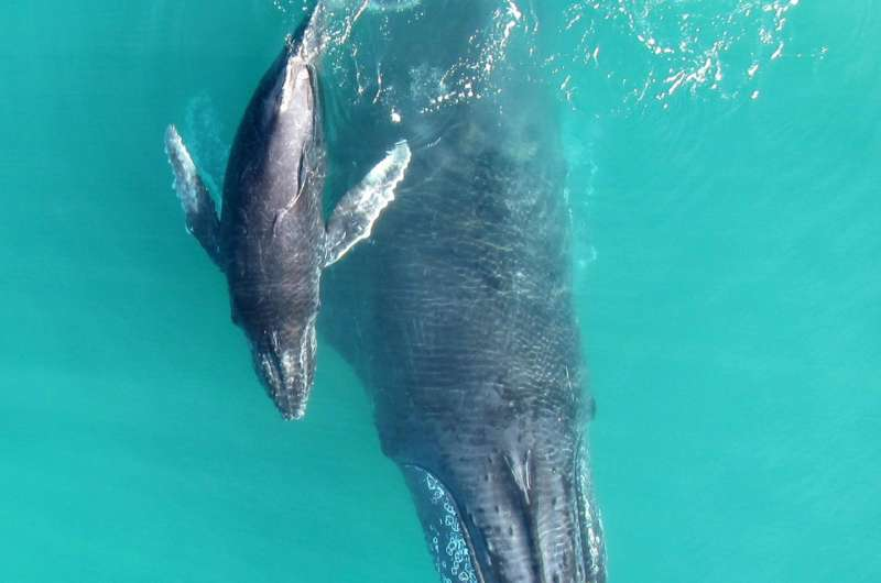'Whispering' keeps humpbacks safe from killer whales, study finds