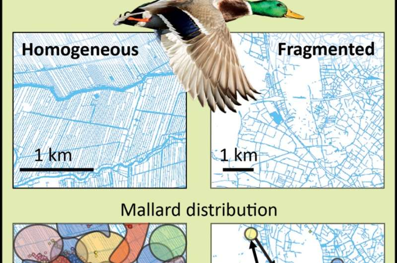 Wintering ducks connect isolated wetlands by dispersing plant seeds
