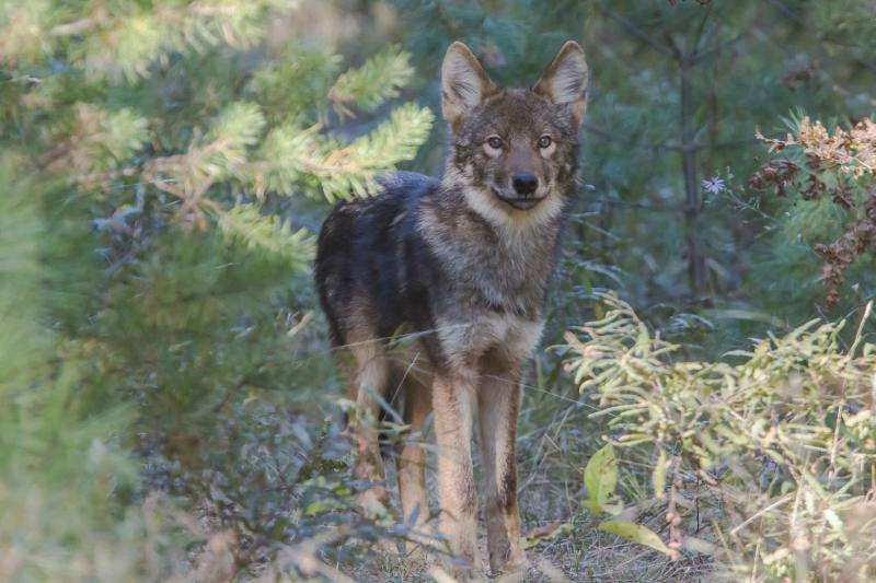 """Wolf evolution and """"settled science"""""""