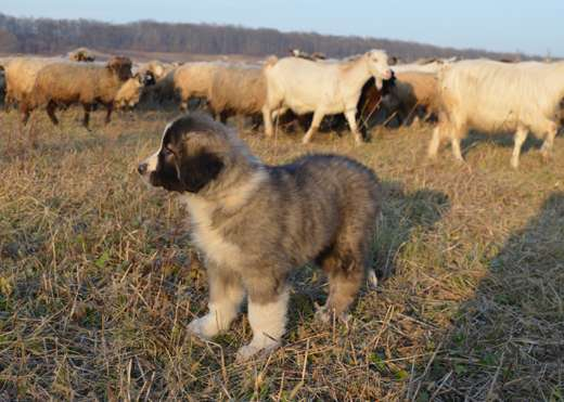 Working with wolves – sheepdog puppies join new flock