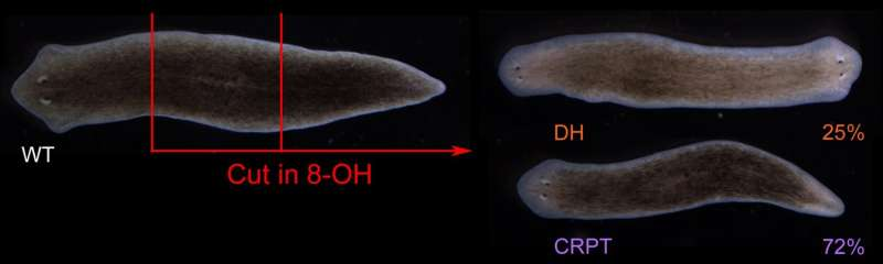 Researchers reveal bioelectric patterns guiding worms' regenerative body plan after injury
