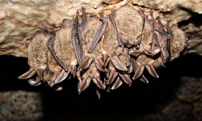 Researchers address disease deadly to bats