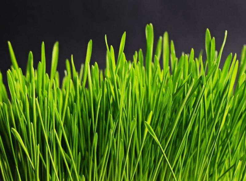 Researchers convert grass into biofuel